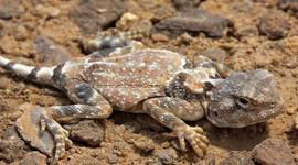 Lizard at wadi degla Protectorate_Maadi