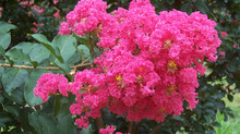 Endlessly Inspirational - the Crepe Myrtle