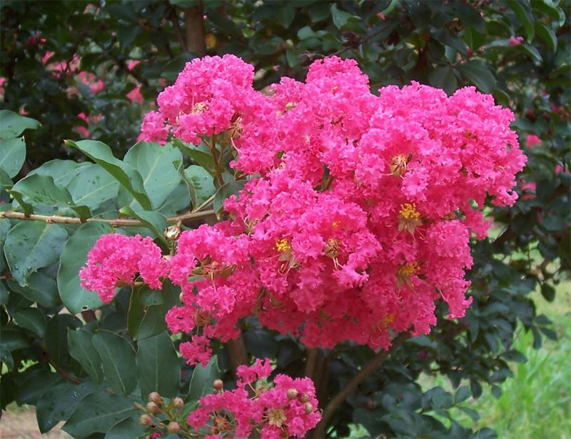 Crepe Myrtle Flower.jpg