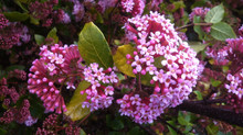 Heritage Plants - Rondeletia