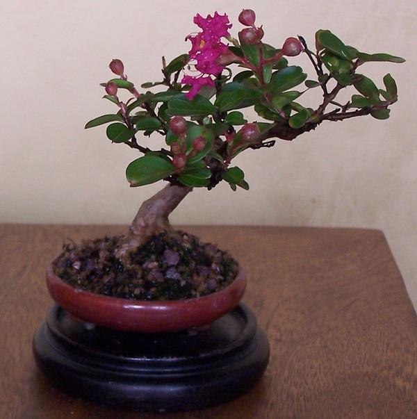 Crepe Myrtle Bonsai.jpg