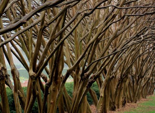 Crepe Myrtle branches.jpg