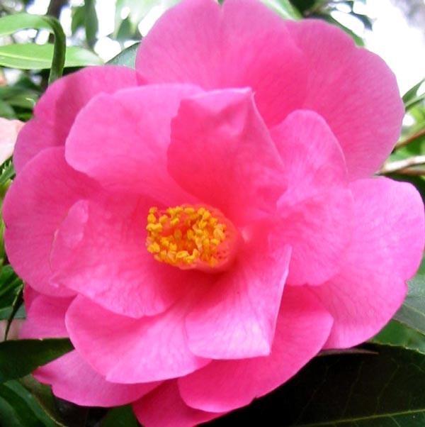 camellia-flower-pink.jpg