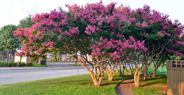 Crepe Myrtle Tree.jpg