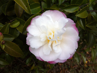What's out now - Gorgeous Camellias