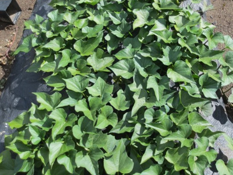 Growing Sweet Potato Vines