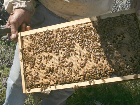 Western Australia's Better Bees Breeding Program