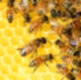 honey-bees-326337_1920.jpg