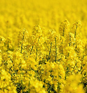 oilseed-rape-5098369_1920.jpg