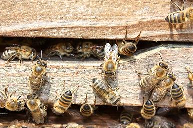 bees-2135428_1280.jpg