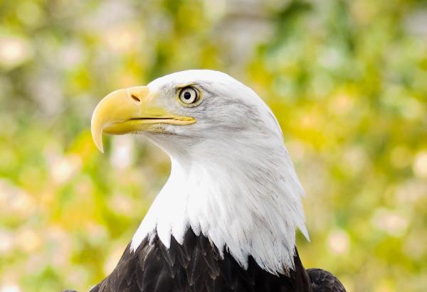 The Steadfast Bald Eagle