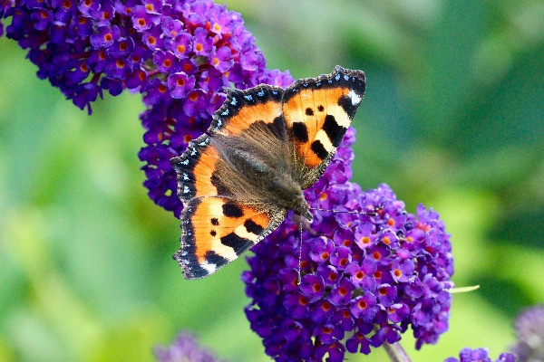 Mariposa Amore