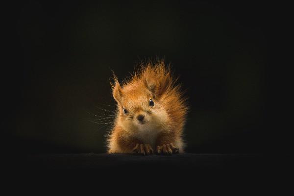 Little Golden Squirrel