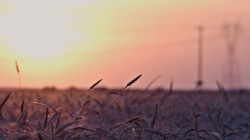 Grain Field with Sunset.jpg