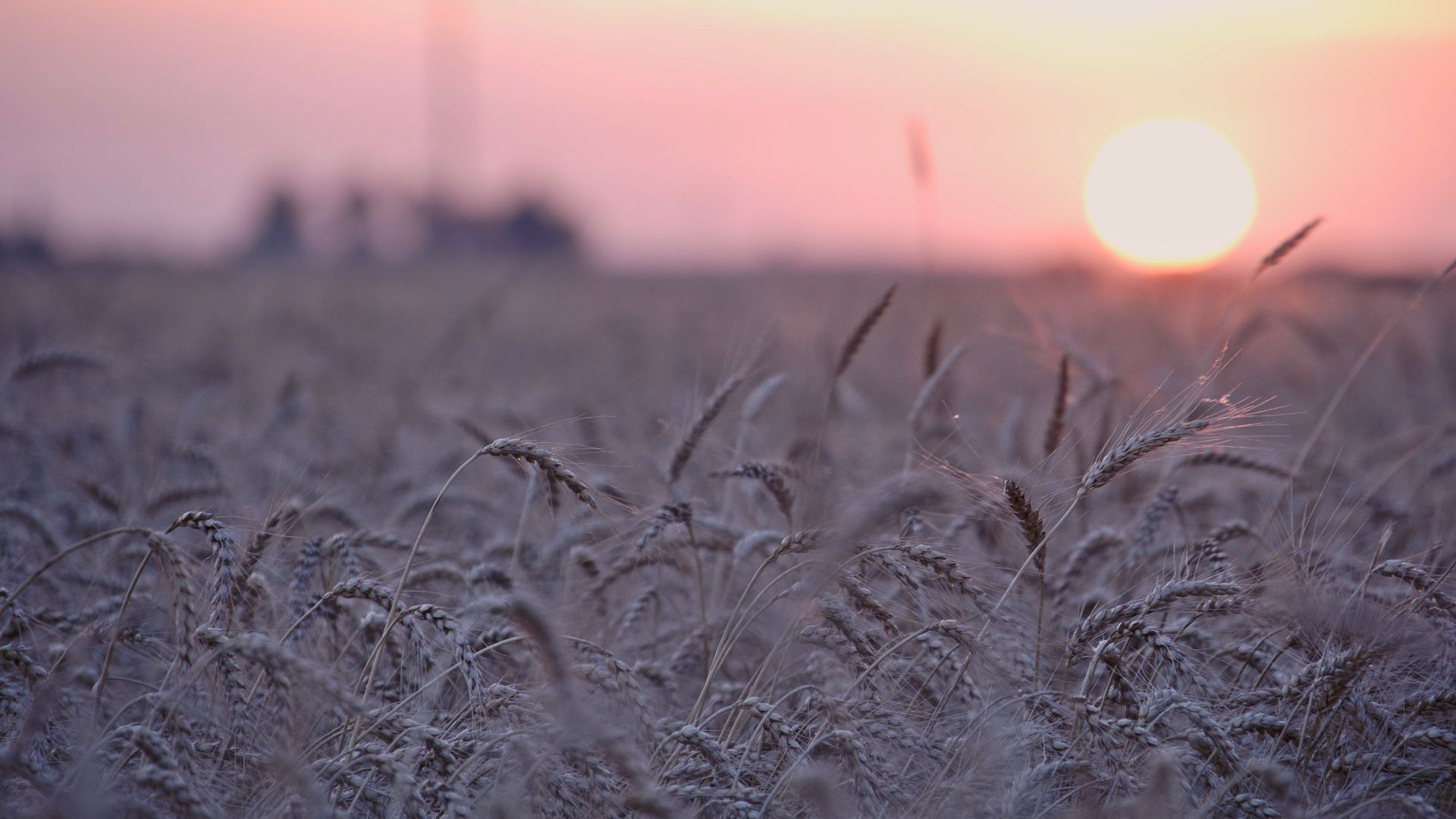 Grain Field.jpg