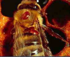 Varroa Control Zoom Presentation