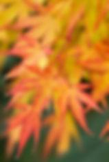 Maple leaves.jpg