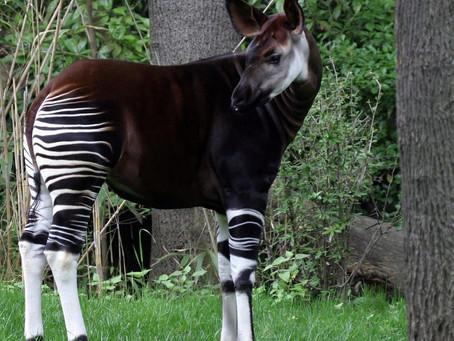 Okapi Animal Spirit Guide