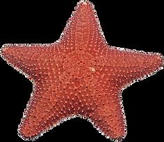 Starfish-PNG-Image.png