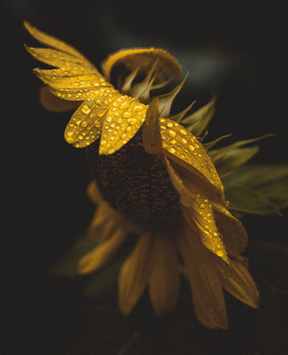 wet sunflower-1.jpg