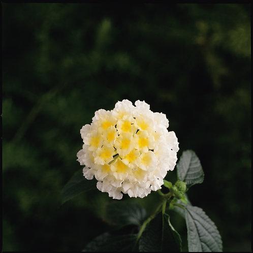 """Lantana {White Yellow} White 3.5"""" pot"""
