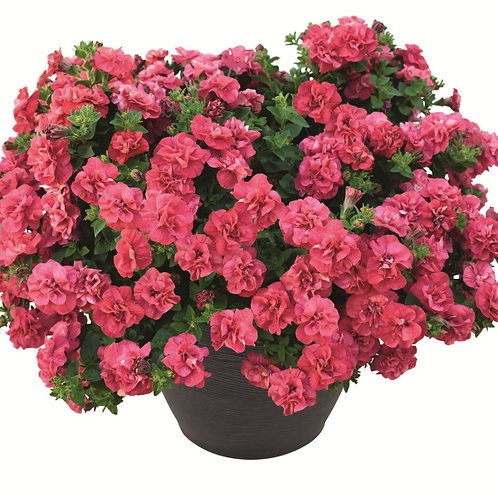 """Petunia Double Red - 3.5"""" pot"""