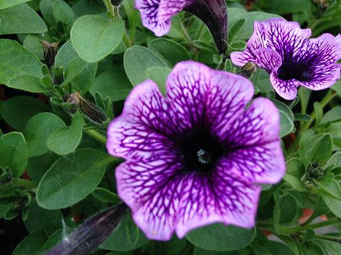 """Petunia Supertunia Bordeaux - 3.5"""" pot"""