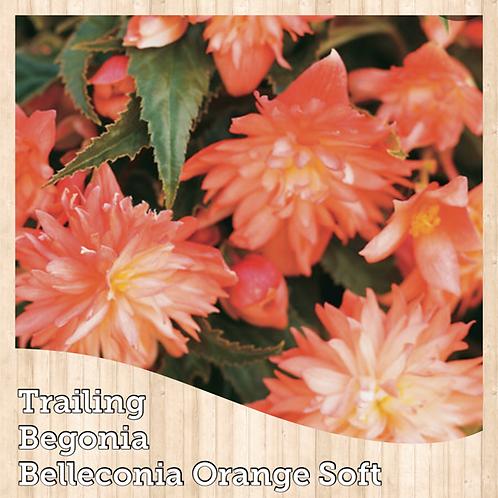 "Begonia Belleconia Orange Soft 6"" round pot"