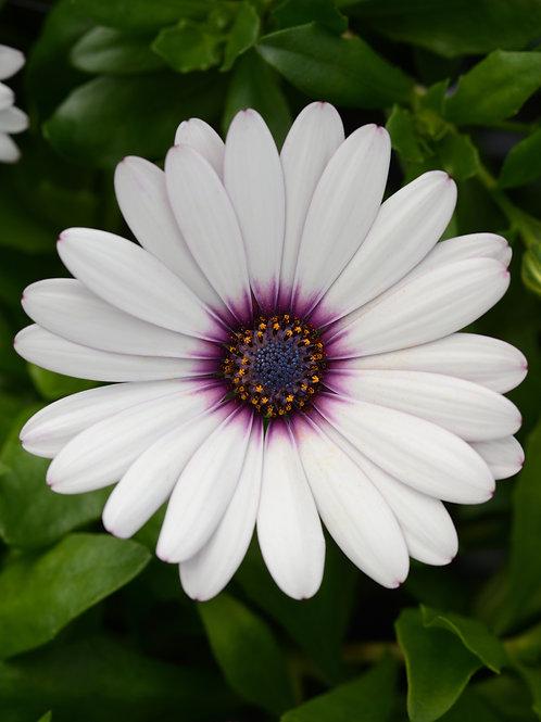 "Osteos Daisy Falls White Amethyst 3.5"" pot"