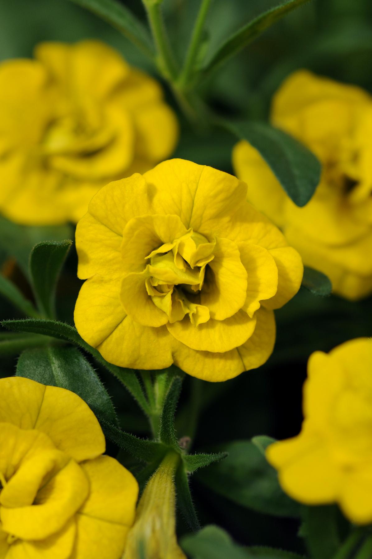 Calibrachoa_MiniFamous_Double_Deep_Yellow_Bloom_2609