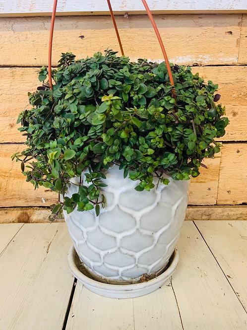"""7.5"""" Turtle Vine Hanging Basket"""