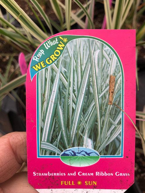 Grass Striped Perennial 1 gallon pot