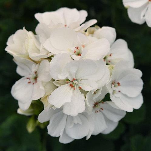 "Geranium Zonal Moonlight White 3.5"" pot"