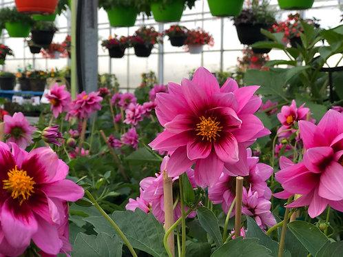 "Dahlia {Pink Rose Eye} Yogi 6"" pot"