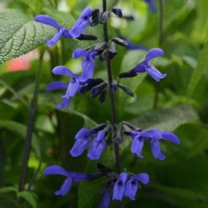 "Salvia Black and Bloom 3.5"" pot"