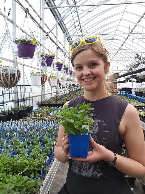 Mint Spearmint- Herb