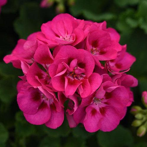 "Geranium Zonal Sunrise Rose Hot Eye 3.5"" pot"