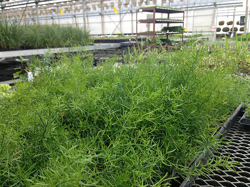 "Asparagus Fern 3.5"" pot"