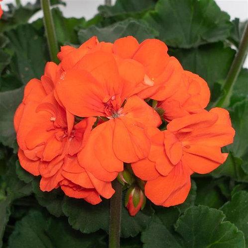 "Geranium Zonal Moonlight Orange 3.5"" pot"