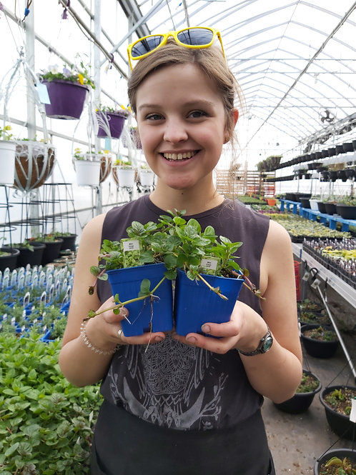 Mint Orange - Herb