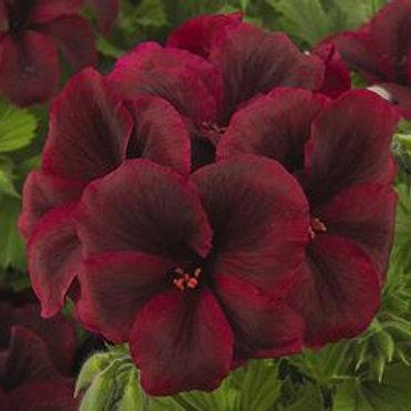 "Geranium Regal Elegance Burgundy 6"" pot"