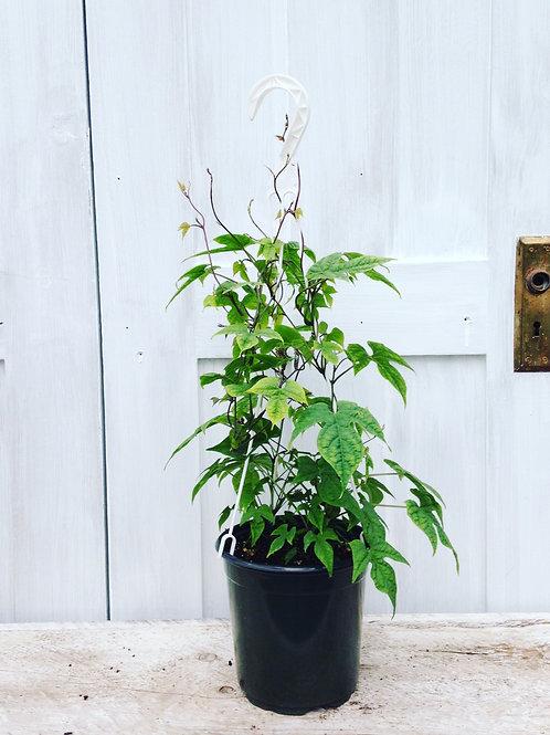 Hyacinth Bean Dolichos 1 gallon vine pot