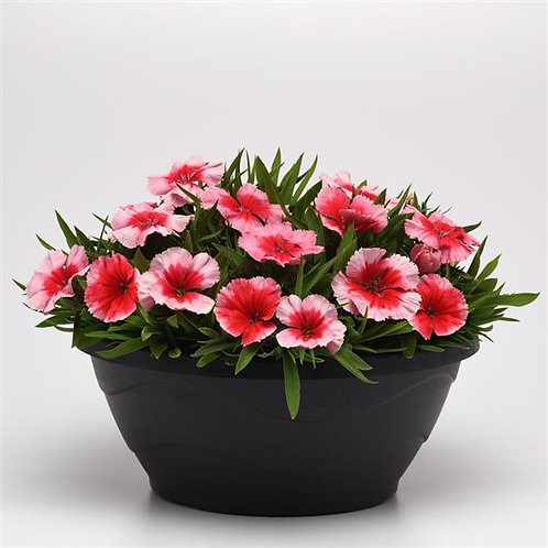 Dianthus Coronet Strawberry 6 pack