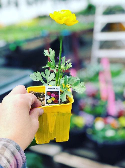 "Ranunculus Mache Mix 3.5"" pot"