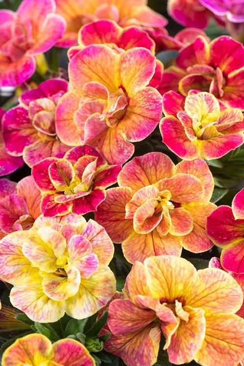 """Calibrachoa Chameleon Double Desert Rose 3.5"""" pot"""