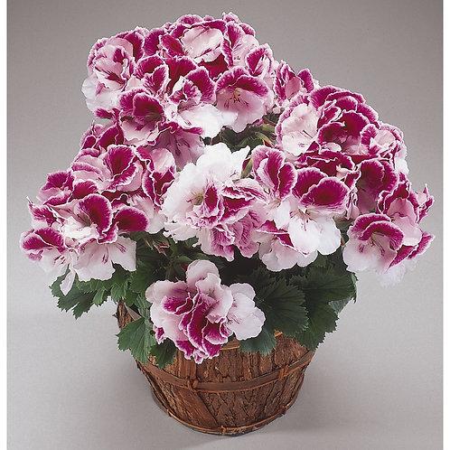 """Geranium Regal Elegance Bravo 6"""" pot"""