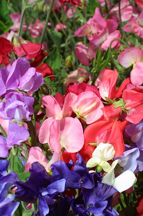 Sweet Pea Mammoth Mix 6 pack