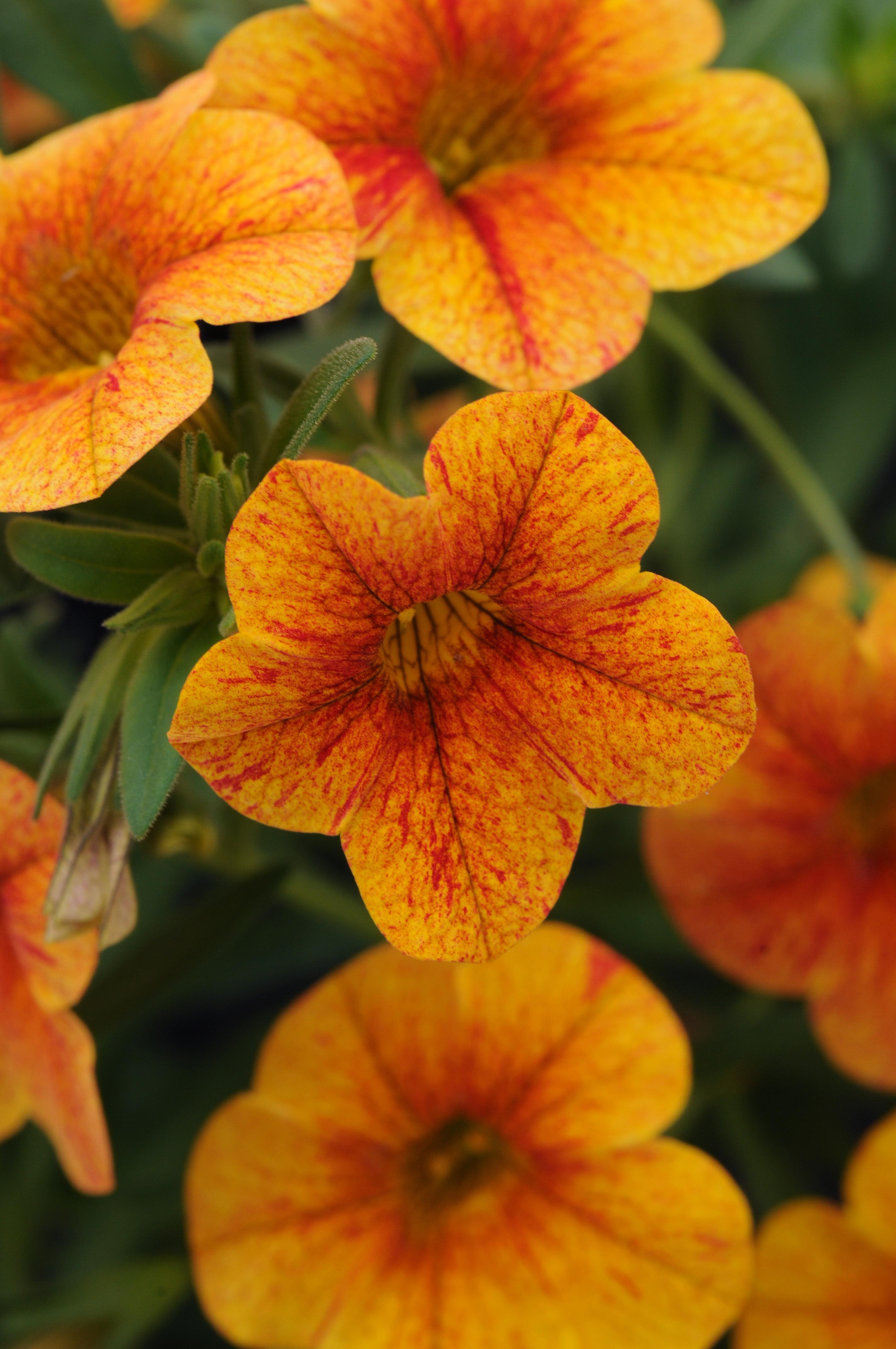 Calibrachoa_CanCan_Terracotta_Bloom_2546