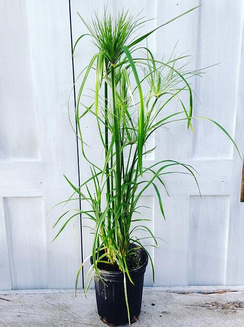 Grass Ornamental Cyperus Papyrus 1 gallon pot