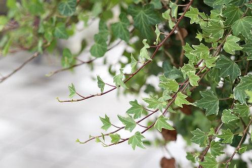 "English Ivy Duckfoot Vine 3.5"" pot"